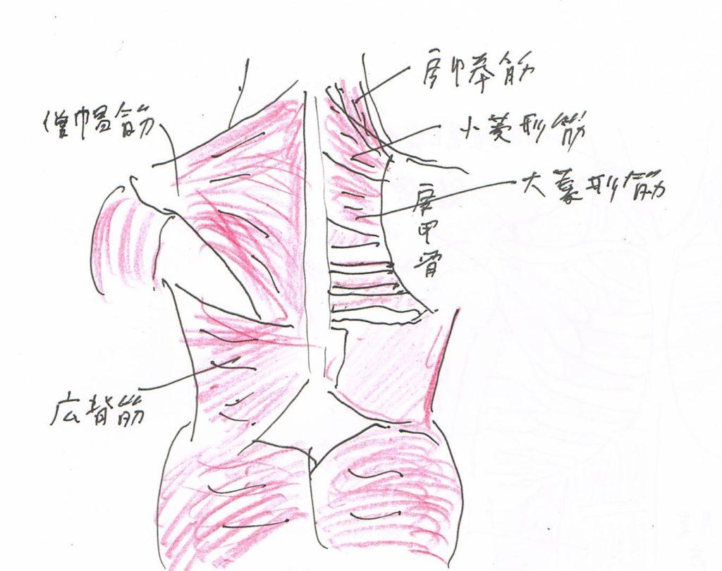 名称 背中 の 筋肉